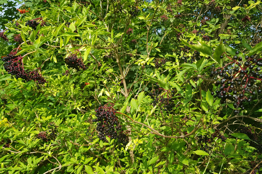 Owoce czarnego bzu na tle krzewu